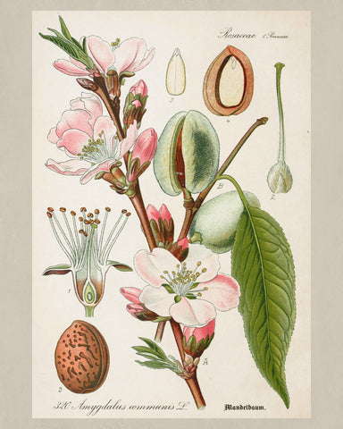 Almond Print Vintage Botanical Sketch Poster Art