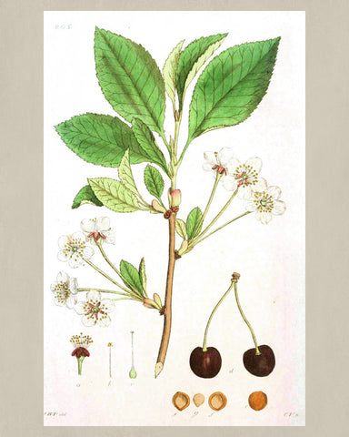 Cherry Print Vintage Botanical Sketch Poster Art