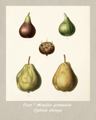 Quince Print Vintage Botanical Illustration Poster Art