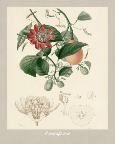 Passion Flower Print Vintage Botanical Illustration Poster Art - OnTrendAndFab