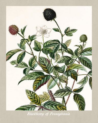 Blackberry Print Vintage Botanical Illustration Poster Art