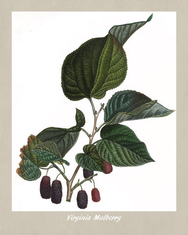 Mulberry Print Vintage Botanical Illustration Poster Art