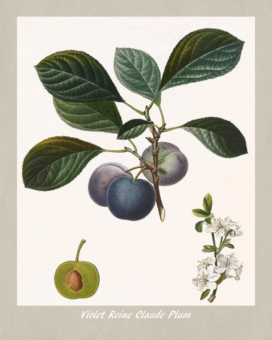 Plums Print Vintage Botanical Illustration Poster Art