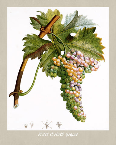 Grapes Print Vintage Botanical Illustration Poster Art - OnTrendAndFab
