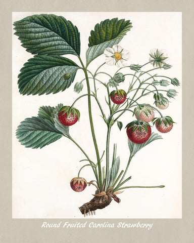 Strawberry Print Vintage Botanical Illustration Poster Art