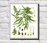 Cannabis Print Vintage Botanical Illustration Book Plate Poster Art