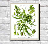 Cannabis Print Vintage Book Plate Poster Art Botanical Illustration