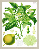 Bergamot Print Vintage Book Plate Poster Art Botanical Illustration