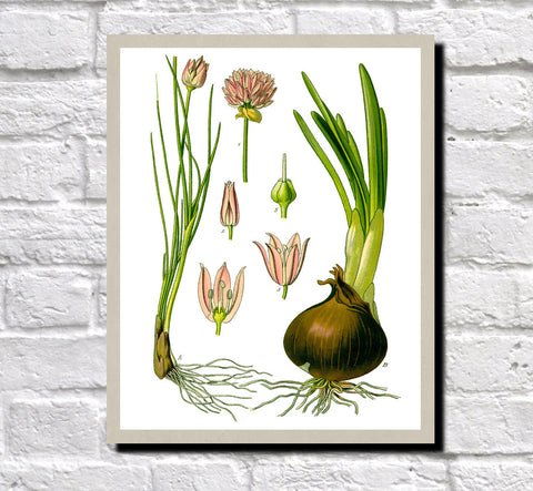 Chives, Onion Print Vintage Book Plate Art Botanical Illustration