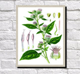 Burdock Print Vintage Book Plate Art Botanical Illustration