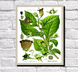 Belladonna Print Vintage Book Plate Art Botanical Illustration
