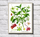 Euonymus Print Vintage Book Plate Art Botanical Illustration