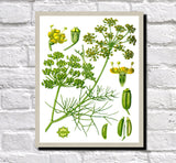 Fennel Print Vintage Book Plate Art Botanical Illustration