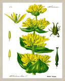 Yellow Gentian Print Vintage Book Plate Art Botanical Illustration