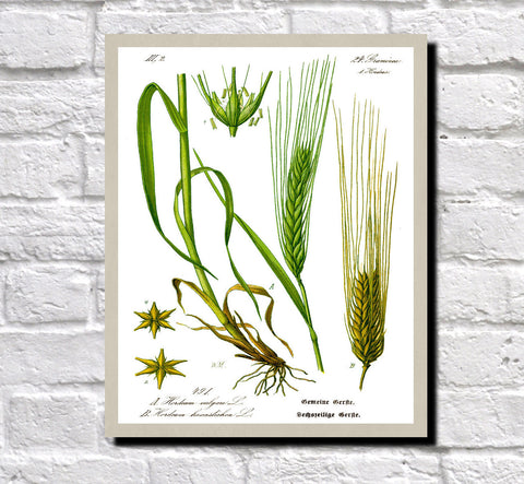 Barley Print Vintage Book Plate Art Botanical Illustration