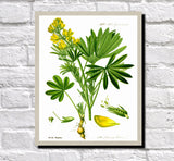 Yellow Lupin Print Vintage Book Plate Art Botanical Illustration