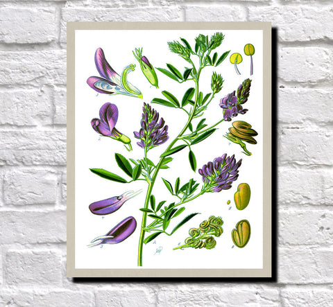 Alfalfa Print Vintage Book Plate Art Botanical Illustration