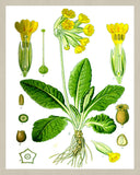 Cowslip Print Vintage Book Plate Art Botanical Illustration
