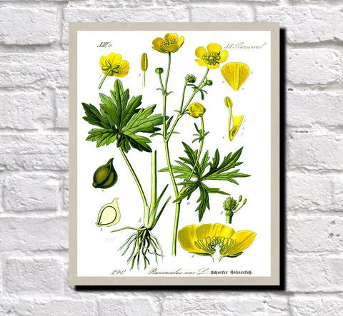 Meadow Buttercup Print Vintage Book Plate Art Botanical Illustration