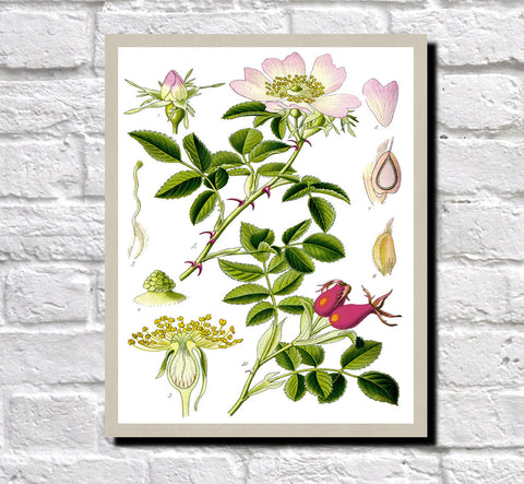 Dog Rose Print Vintage Book Plate Art Botanical Illustration