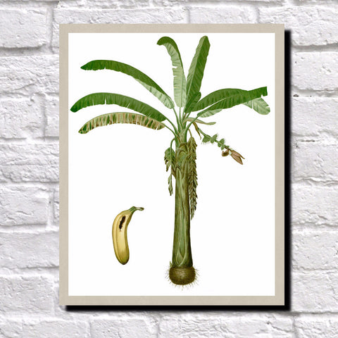 Banana Plant Print Vintage Book Plate Art Botanical Illustration