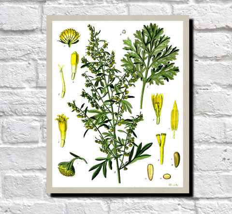 Absinthe Wormwood Print Vintage Book Plate Art Botanical Illustration