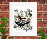 Boat Tailed Grackle Illustration Print Vintage Bird Sketch Art 0410