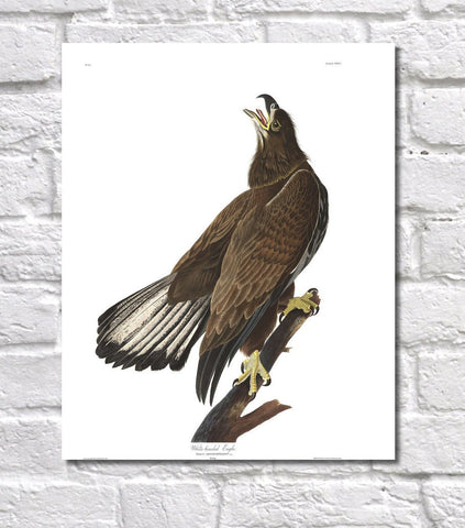 White Headed Eagle Illustration Print Vintage Bird Sketch Art 0424