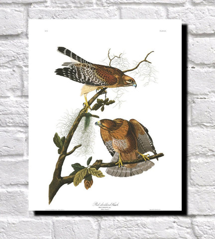 Red Shouldered Hawk Illustration Print Vintage Bird Sketch Art 0425