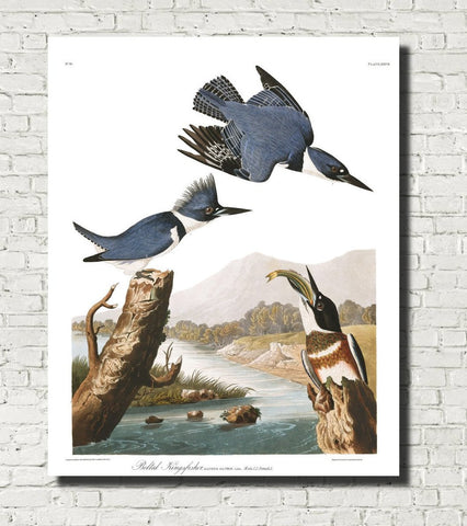 Belted Kingfisher Illustration Print Vintage Bird Sketch Art 0422