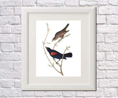 Prairie Starling Illustration Print Vintage Bird Sketch Art 0417
