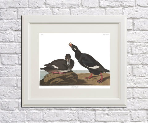 Velvet Duck Illustration Print Vintage Bird Sketch Art 0487