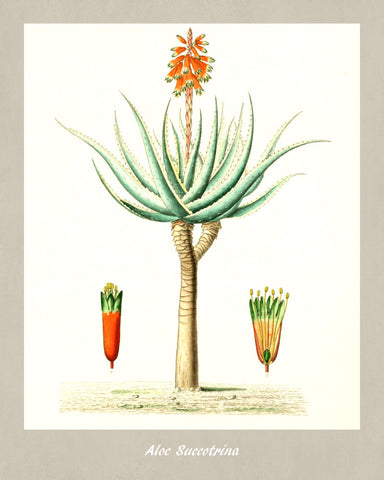 Aloe Print Vintage Botanical Illustration Poster Art