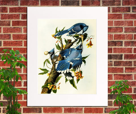Blue Jay Illustration Print Vintage Bird Sketch Art 0404