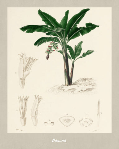 Bananas Print Vintage Botanical Illustration Poster Art - OnTrendAndFab