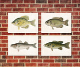 Bass Fishing Prints Set 4 Angling Wall Art 0596