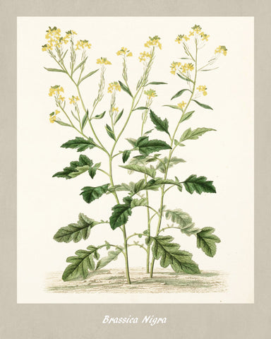 Black Mustard Print Vintage Botanical Illustration Poster Art