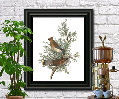 Cedar Bird Illustration Print Vintage Bird Sketch Art 0419