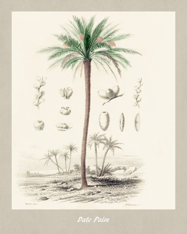 Date Palm Print Vintage Botanical Illustration Poster Art - OnTrendAndFab
