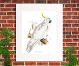Greater Sulphur Crested Cockatoo Illustration Print Vintage Bird Sketch Art 0428