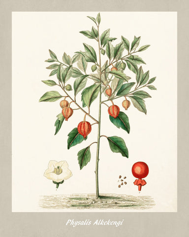 Ground Cherry Print Vintage Botanical Illustration Poster Art - OnTrendAndFab