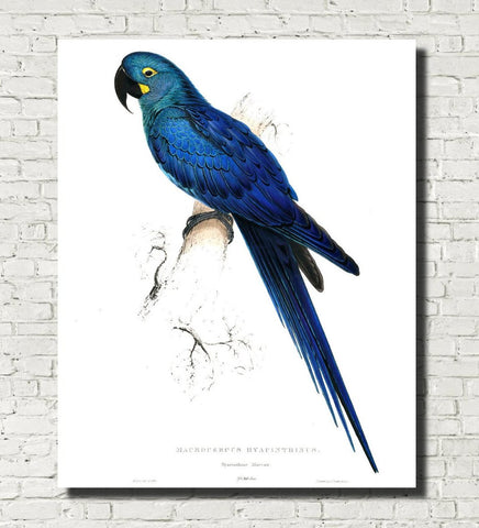 Hyacinth Macaw Illustration Print Vintage Bird Sketch Art 0426