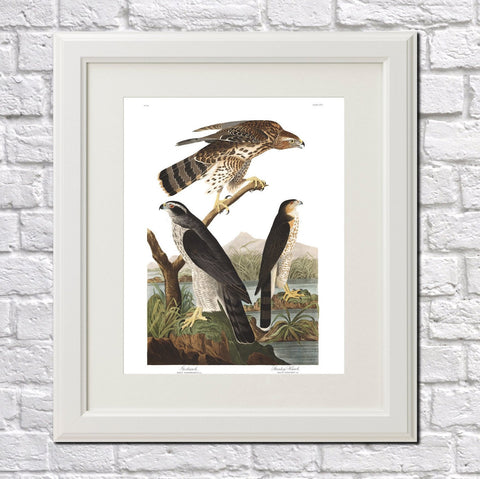 Goshawk Illustration Print Vintage Bird Sketch Art 0423