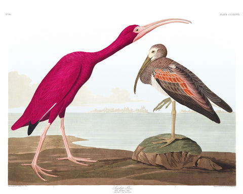 Scarlet Ibis Illustration Print Vintage Bird Sketch Art 0420