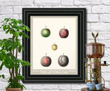 Plums Print Vintage Botanical Illustration Poster Art - OnTrendAndFab