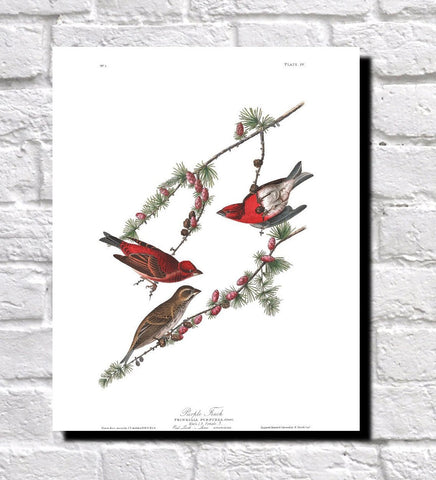Purple Finch Illustration Print Vintage Bird Sketch Art 0480
