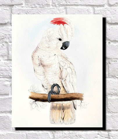 Salmon Crested Cockatoo Illustration Print Vintage Bird Sketch Art 0427