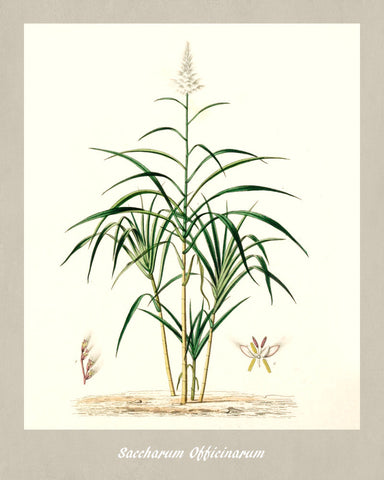 Sugarcane Print Vintage Botanical Illustration Poster Art - OnTrendAndFab