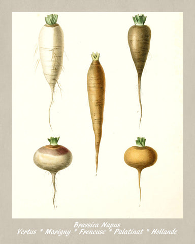 Turnip Print Vintage Botanical Illustration Poster Art - OnTrendAndFab