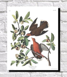 Zenaida Dove Illustration Print Vintage Bird Sketch Art 0482